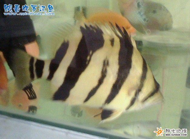 出售罗汉鱼苗,罗汉鱼,印尼虎鱼图片