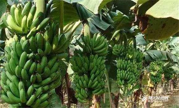 香火蕉图1