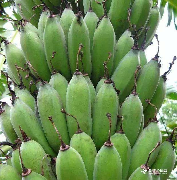 香火蕉图2