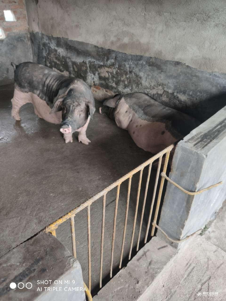 怀孕唐母猪出售,有3个,货在石鼓,微18688369321
