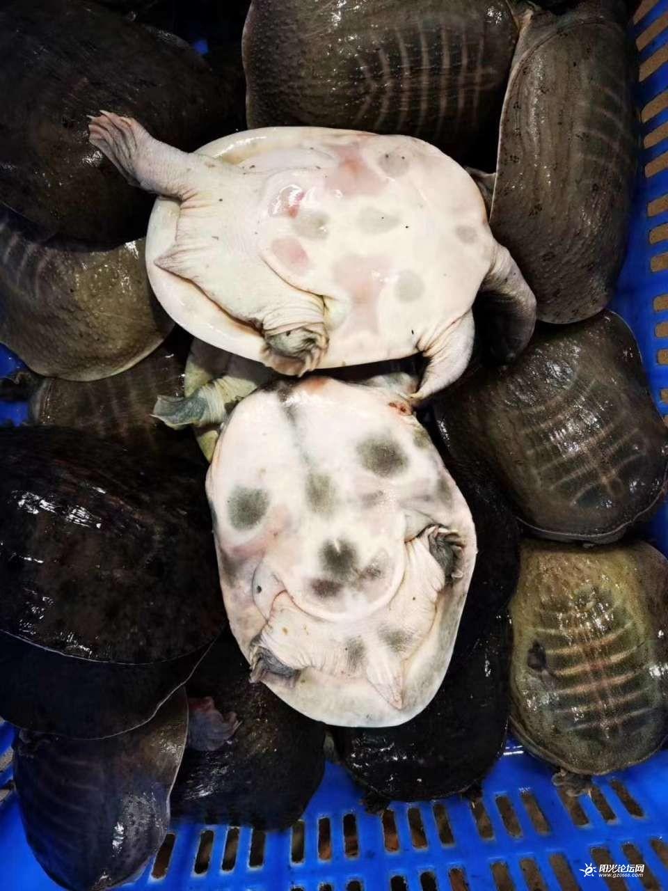 甲鱼、甲鱼,乌龟、乌龟、批发